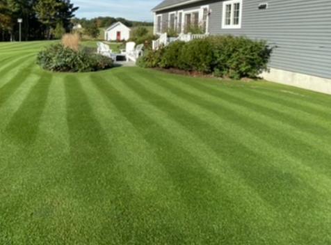 bentgrass lawn